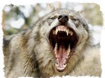Амулет клык волка