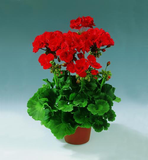 Пеларгония садовая  bonusflowercom