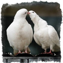 приметы белый голубь