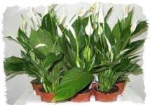 комнатные растения приметы и суеверия