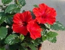 Китайская роза в доме: приметы