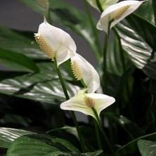 Спатифиллум цветок женское счастье приметы