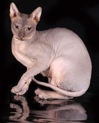 Как вызвать египетского кота днем?