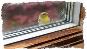 приметы воробей бьётся в окно