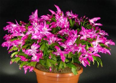 декабрист цветок приметы и суеверия