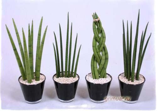 Фото цветка тещин язык, приметы, значение растения