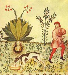 Средневековая иллюстрация добычи мандрагоры