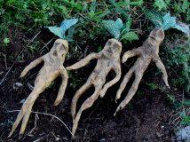 Мандрагора — колдовское растение с душой