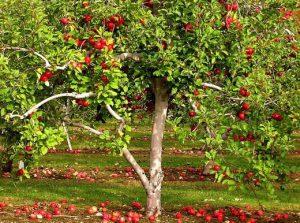 Яблоня приметы