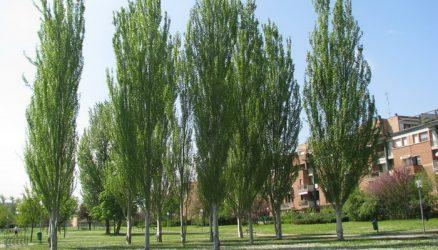 Какие деревья нельзя сажать на участке