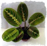 Молитвенное растение