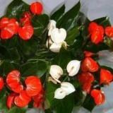 Цветок Женское счастье приметы