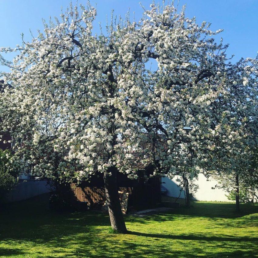 Яблоня во дворе зацвела