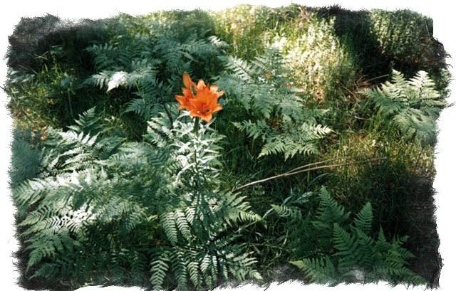 Природный оберег цветок папоротника