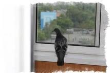 голубь залетел в окно примета