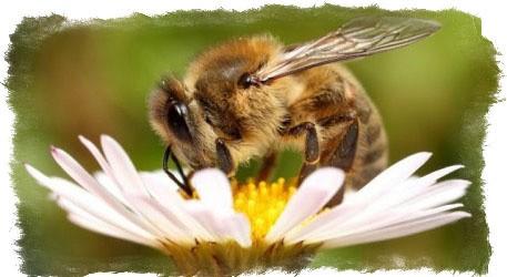 примета пчела залетела в дом
