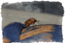 майский жук залетел в окно примета