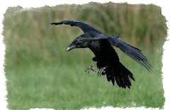 ворона села на голову примета