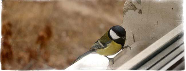 приметы птица стучит в окно