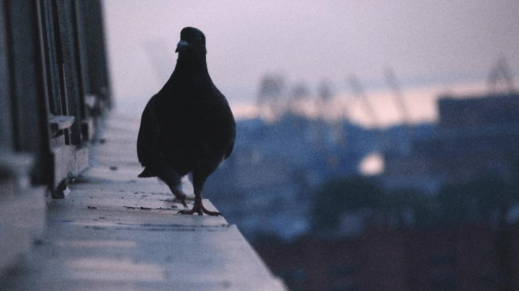 К чему голубь садится на подоконник: приметы