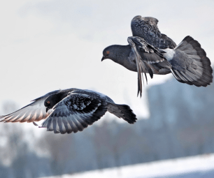 Примета: два голубя сели на подоконник