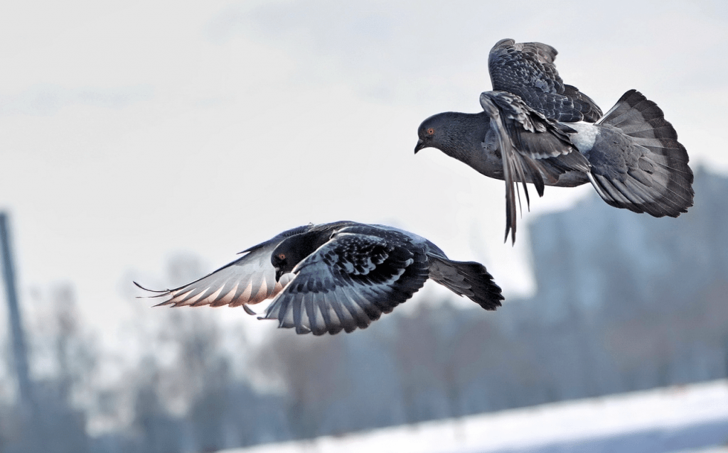 Голубь сел на подоконник за окном: приметы о голубе
