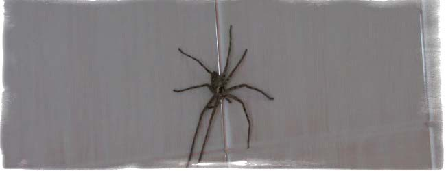 паук в квартире примета