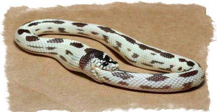 змея кусающая себя за хвост