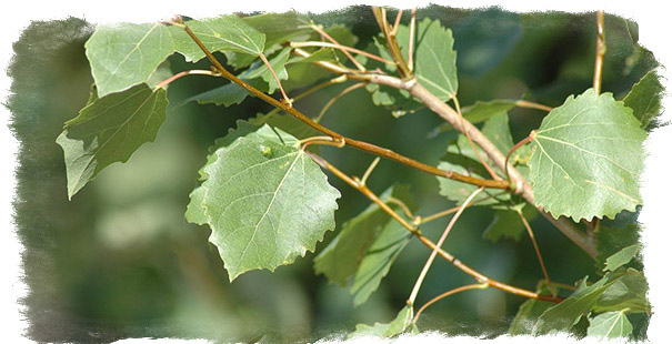 дерево осина лечебные свойства