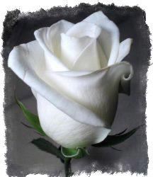 можно ли дарить белые розы