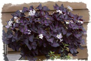 цветок оксалис приметы