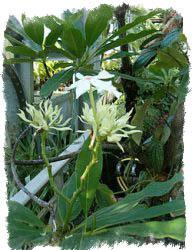 растение цербер