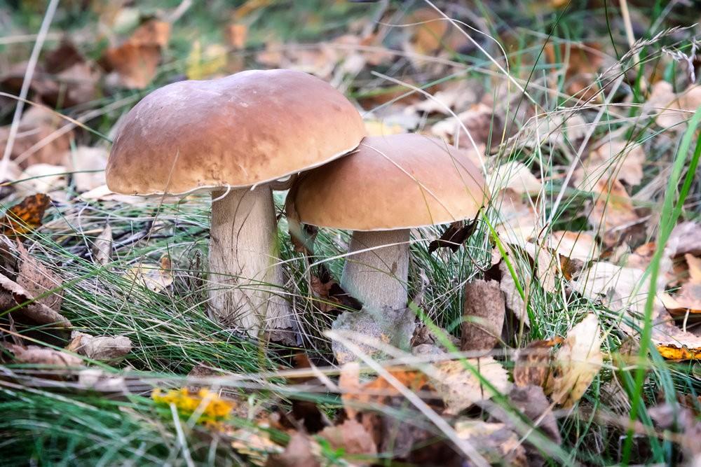 видеть во сне свежие грибы