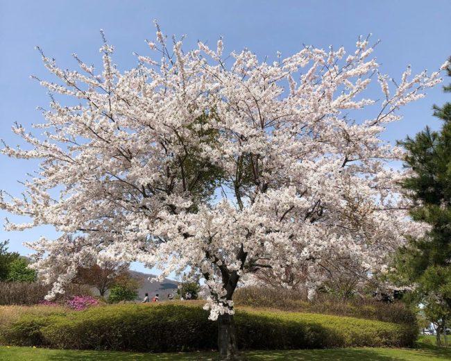 Декоративная вишня